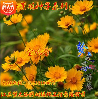 散称批发金鸡菊种子多年生宿根草本花卉春夏秋播种易种菊花种籽
