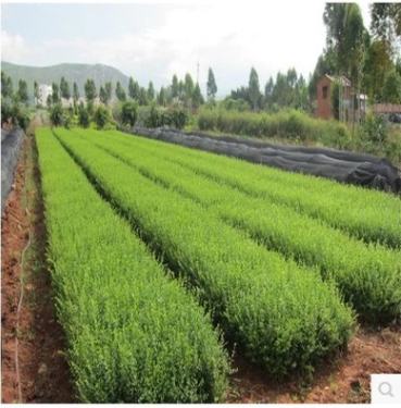 供应批发水腊小苗|规格齐全货源充足|工程绿化苗水腊小苗批发价格