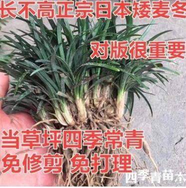正宗日本矮麦冬草常绿庭院别墅绿化地被植物玉龙草矮生麦冬草