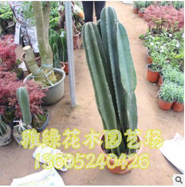 仙人柱盆栽批发 规格多 易成活 办公室绿植盆栽销售
