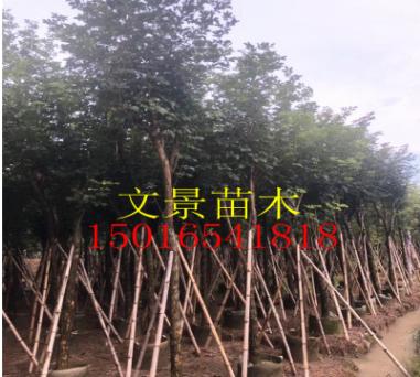 普宁黄花风铃木产地直销多花植物风景树大量