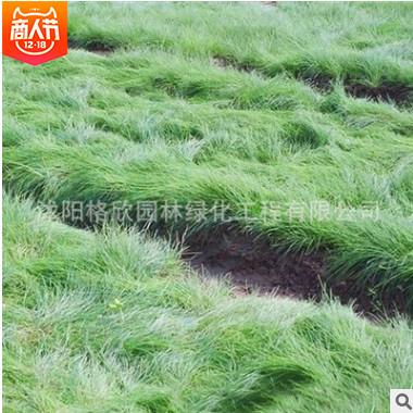 供应优质草坪种子紫羊茅草种子 紫羊茅草籽 紫羊茅种子