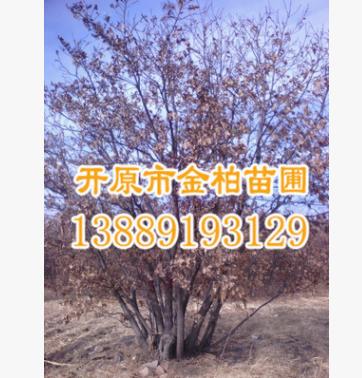 东北产地直供 蒙古栎单株8-30公分 丛生蒙古栎 绿化行道树 规格全