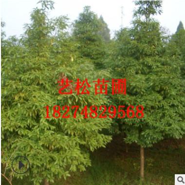 正宗金丝楠木基地 乔木常绿风景园艺树 行道树风景树 防护树