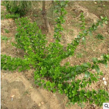现货供应常绿灌木扶芳藤小苗绿篱用扶芳藤小苗5-9分枝泰安热卖