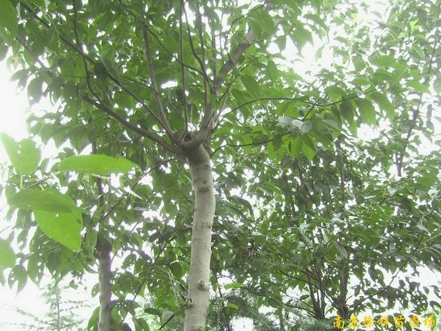 供应杜仲等多种绿化苗木