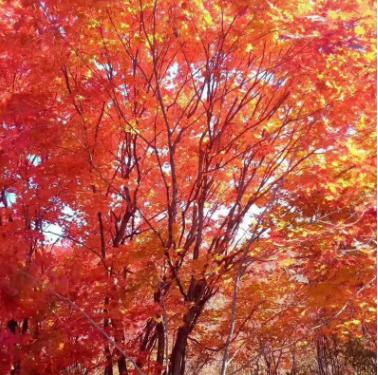厂家直销 北方彩叶苗木丛生九角枫 园区景观树九角枫大树 紫花槭