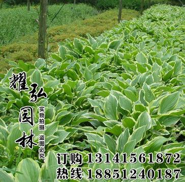 基地发货 批发花叶玉簪价格 工程绿化 玉簪苗销售 价格从优玉簪