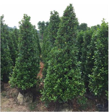 绿化树苗 火山熔 大量出售鲜树火山熔 红森林园艺 园林