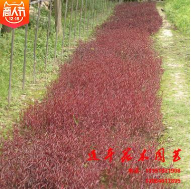 基地直销 优质红莲子红莲草 颜色纯正 成活率高 量大从优