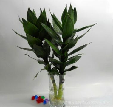 批发 水培植物 观音竹 桌面摆放 四季常青莲花竹 净化空气防辐射