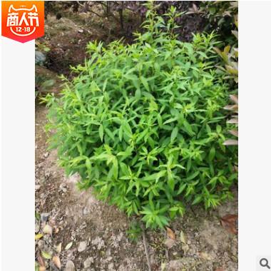 金焰粉花绣线菊 灌木花卉 园林绿化 常绿乔木 水生植物 水生花卉