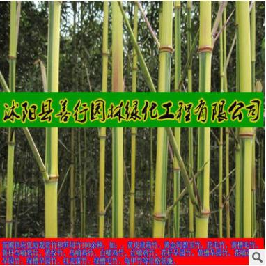 超值低价批发庭院观赏竹子-1-10cm金镶玉竹根系发达、成活率高