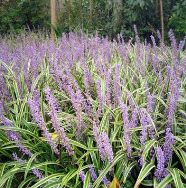 批发草坪种子 金叶麦冬草 麦冬草种子量大优惠
