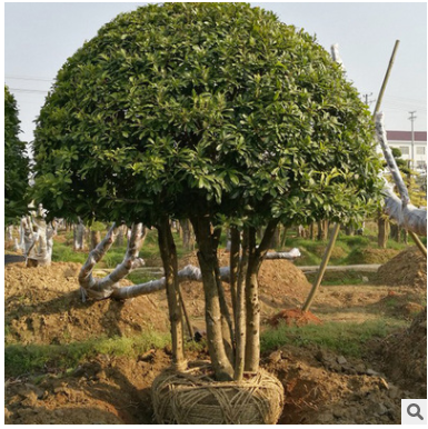 杨梅树 供应绿化球型杨梅大树东魁杨梅树 仙居杨梅树批发