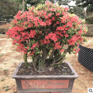 映山红桩景 花卉室内带花盆绿植鲜花植物花苗批发