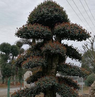 造型椤木石楠 园林造型景观苗木绿化苗木盆栽庭院植物