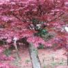 批发红枫苗花卉绿化苗木 红枫树苗 三季红 庭院工程绿化