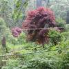 批发工程绿化 庭院美化彩色树苗 美国红枫 秋火焰红枫苗
