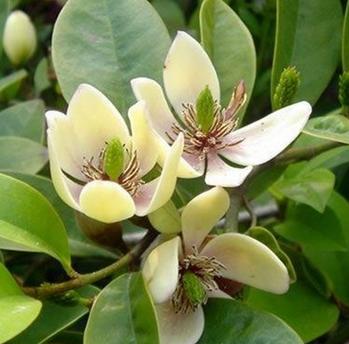 室内盆栽含笑花苗3年苗 含笑树苗 含笑花 浓香 美化居室