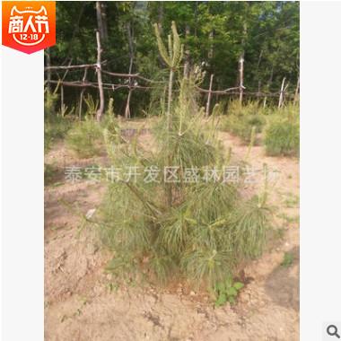 山东华山松树低价出售 优质景观绿化华山松 品种纯正华山松
