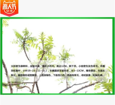 基地直销优质绿化苗木乔木 火炬树 火炬树小苗 价格优惠 量大从优