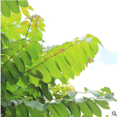 火焰木树产地直销 直径5-60公分可供公园小区美化环境 可大量批发