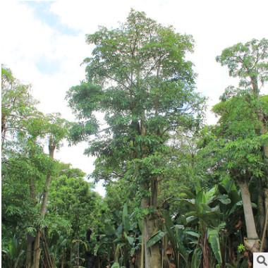 盆架子批发 原产地种植地苗移栽树多种规格 绿化种植基地直销