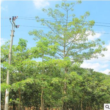 产地直销 树形美观各种规格美丽异木棉 美人树批发