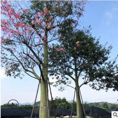 美丽异木棉 美人树 可供公园小区美化环境 场地直发 量大价优