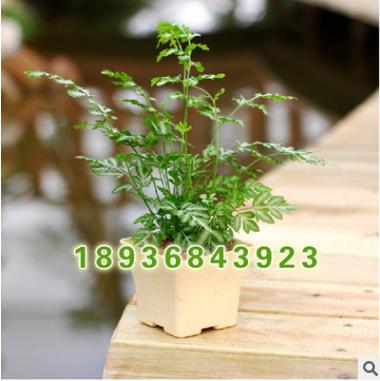 批发绿色盆栽 凤尾蕨 吸甲醛 净化空气 凤尾蕨盆栽 观叶植物