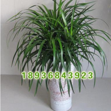 龙血树盆栽低价批 基地直销 龙血树盆栽 又名龙须树 室内观赏盆栽