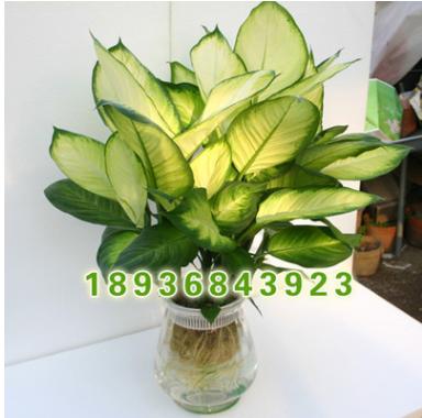 种植基地直销优质观叶植物盆栽 玛丽安盆栽 又名花叶万年青