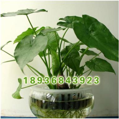 种植基地直销优质 滴水观音盆栽 观叶植物滴水观音 净化空气 水培