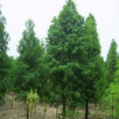 供应水杉 中山杉 落羽杉水杉小树苗 种子绿化苗木批发