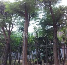 福建漳州供应凤凰木米径8--50公