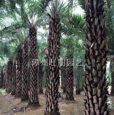 福建漳州供应中东海藻杆高1---6米