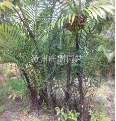 福建漳州供应香棕