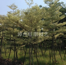福建漳州供应锦叶榄仁3---10公分