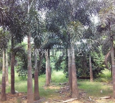 福建漳州供应狐尾椰子20头颈---杆高6米