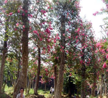 供应米径20cm公分紫薇树桩 湖南红花紫薇 地径和米径价格不一样