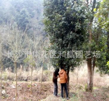 湖南大树椤朩石楠铁冬青 35-40公分椤木石楠毛胚树 优质标准品