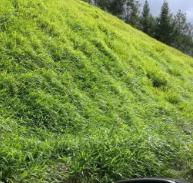 福建南平新品上市宽叶雀稗种子