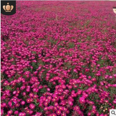 基地现货供应荷兰菊 地被菊品种齐全 盆景花卉批发市场