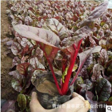 耐寒草花 紫叶甜菜 紫叶菠菜 红叶甜菜 红叶菠菜花卉种子 厂家