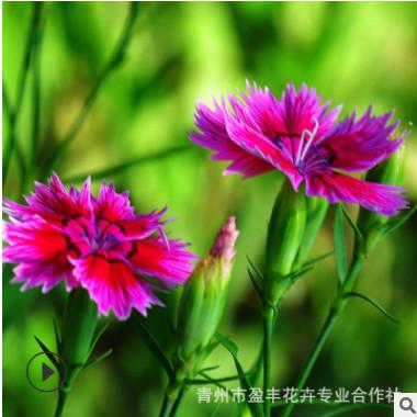 常夏石竹 宿根花卉 常夏石竹种苗种子 杯苗盆苗四季草花花海景观