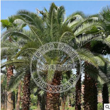 基地直供湖南海藻 银海枣 棕榈类园林植物。高度2-3-4-5米不等
