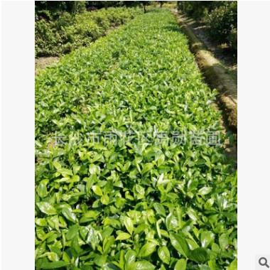 基地供应湖南大叶栀子.大叶栀子花.小叶栀子花灌木类地被用苗。