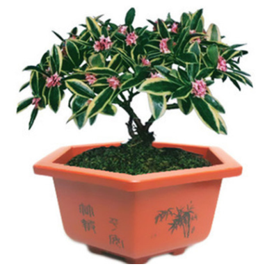 室内花卉绿植芳香植物金边瑞香花苗盆栽含笑白兰栀子花茉莉花苗