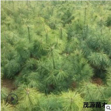 农户直销 园林绿化工程用华山松2-3米 行道 防护树华山松价格